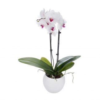Rosa Herz der Orchidee Phalaenopsis